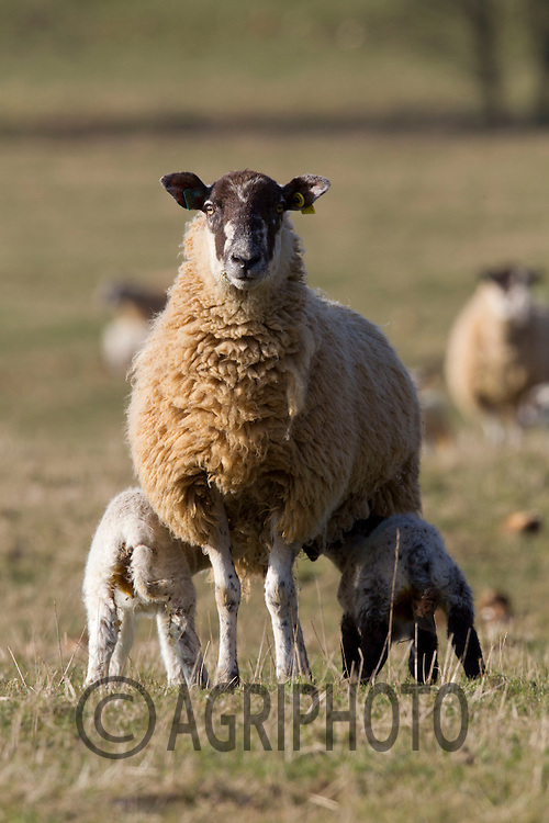 Ewe and Young Lambs out on grass..Picture Tim Scrivener date taken 2nd March 2013.Mobile 07850 303986 e-mail tim@agriphoto.com.          ?.covering agriculture in the Uk?....
