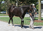 Hip #91 A.P. Indy - Foxy Danseur filly at the  Keeneland September Yearling Sale.  September 9, 2012.