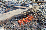 Fresh caught local spot prawns cooking over the embers of a campfire on Nelson Island, British Colombia, Canada.