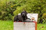 Black Labrador retriever puppy holding a duck decoy.
