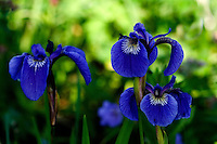 The Iris family (Iridaceae) is a family of perennial, herbaceous and bulbous plants. Almost worldwide in distribution and one of the most important families in horticulture, it includes more than 2000 species. Here, in Kukat Bay on the Alaskan Peninsula, Katmai National Park, they bloom in blue.