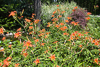 Hemerocallis fulva orange daylilies with Acer palmatum var. dissectum Japanese maple tree with purple leaves, Miscanthus sinensis ornamental grass in summer, in front of water pond with waterlilies in bloom