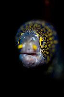 Snowflake moray eel, Tulamben, Bali, july 2011