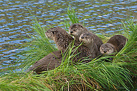 Northern River Otter (Lontra canadensis) family--mother with three pups.  Western U.S., summer..