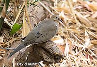 0611-1101  Mourning Dove in Arizona Desert (Sonoran Desert), Zenaida macroura  © David Kuhn/Dwight Kuhn Photography