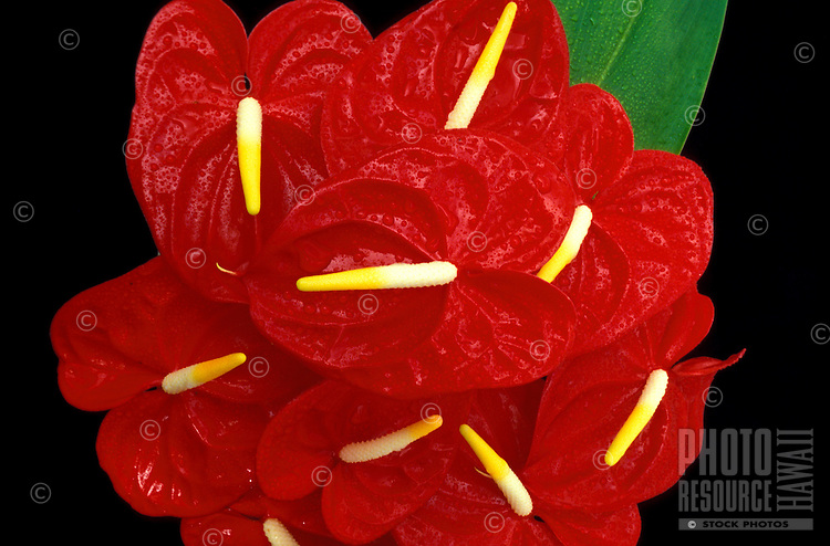 The deep-red commercial variety of anthurium (Anthurium andracanum)