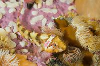 Snubnose Sculpin Orthonopias triacis Southeast Alaska