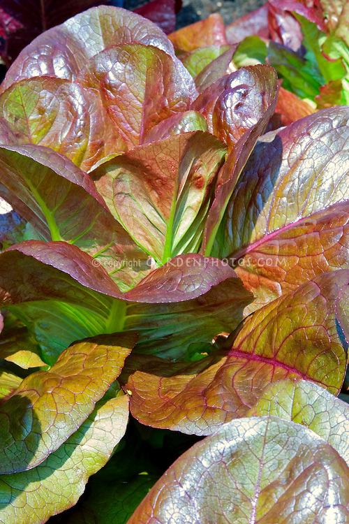 Lettuce 'Rouge d'Hiver'. old French romaine variety with medium-red tinted leaves and excellent flavor. Versatile heirloom vegetable variety with beautiful bronze leaves for salad mix or full size heads