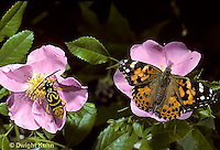 1C25-005x  Butterfly - Painted Lady with Sugar Maple Borer Beetle on rose