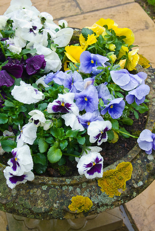 Cement planter with lichen pot container garden of viola Pansies in mixed colors, blue, white, purple, yellow, flowers with dewdrops water