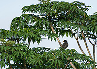 Brown Jay, Cyanocorax morio, perched in a tree in Monteverde, Costa Rica