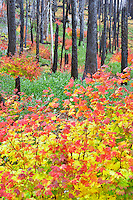 Multicolored vine maple in burned out forest. Santiam Pass. Oregon