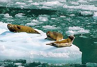 Three harbor seals bask in the summer sun on an iceberg in Tracy Arm-Fords Terror Wilderness area in the Tongass National Forest in Southeast Alaska. Alaska, Tracy Arm-Fords Terror National Wilderness.