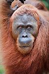Male Bornean Orang-Utan (Pongo pygmaeus). Camp Leakey, Tanjung Puting National Park, Kalimantan, Borneo.