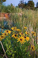 Yellow flower Black-eyed Susan, Gloriosa Daisy (Rudbeckia hirta) Colorado meadow garden with Western Wheat Grass