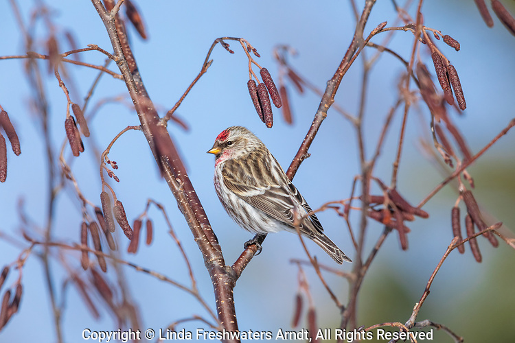 Common redpoll perched in a speckled alder.