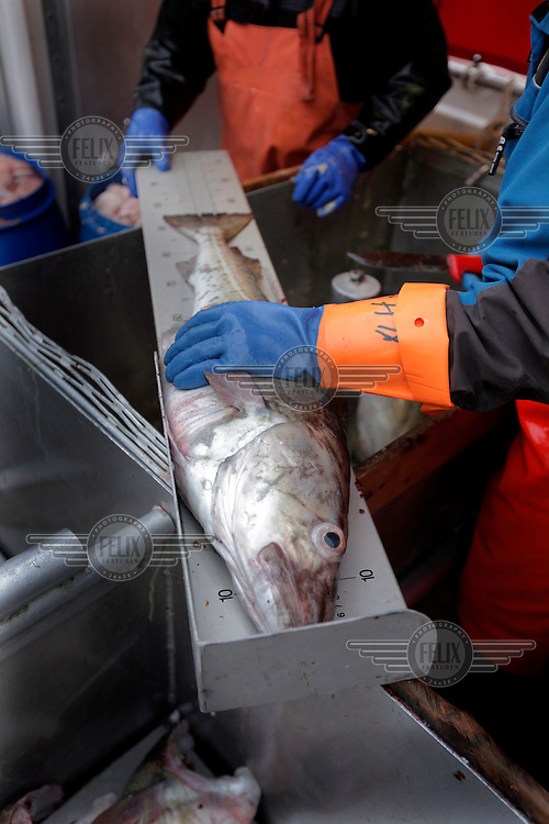 Fishermen measure  cod as part of a project by the Norwegian Institute of Marine Research..The Lofoten is a very important fishing center, especially for the cod (skrei in Norwegian), attracted by the rich food brought by the Gulf Stream.