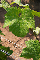 A pinot noir leaf - you can identify the variety since the leaf goes all the way into the center (the leaf nerve is not at the edge of the leaf at the top of the picture) Champagne Francois Seconde, Sillery Grand Cru, Montagne de Reims, Champagne, Marne, Ardennes, France