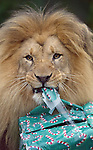 """""""Uton"""" a male lion at the San Francisco zoo got into the holiday spirit as he unopened wrapped presents filled with toys and food for Christmas.   ."""