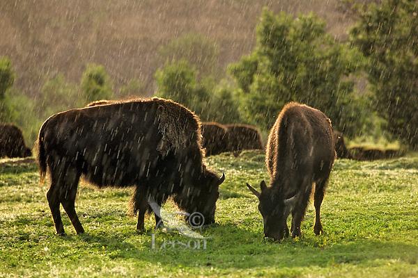 American Bison (Bison bison) in summer thunderstorm (rain), Theodore Roosevelt National Park, North Dakota.