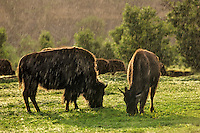 American Bison (Bison bison) in summer thunderstorm (rain), Theodore Roosevelt National Park, North Dakota.