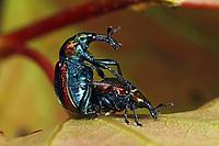 Pappelblattroller, Pappel-Blattroller, Paarung, Kopulation, Pappelblatt-Roller, Byctiscus populi, Bytiscus populi, leaf-rolling weevil, pairing, le cigarier du peuplier, Blattroller, Attelabidae