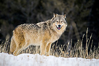 Gray Wolf (Canis lupus), male, animal portrait in fresh falling snow, Montana, USA, North America