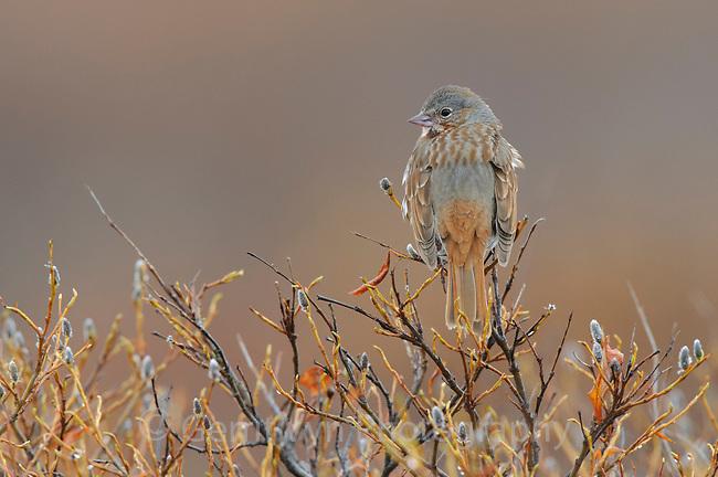 "Adult "" red"" Fox Sparrow (Passerella iliaca) of the subspecies P. i. iliaca. Seward Peninsula, Alaska. June."