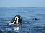 Baleines à bosse et dauphins. Depuis des millenaires, les baleines a bosse (Megaptera novaeangliae) effectuent un periple annuel de plus de 10 000 km en remontant en deux mois le canal de Mozambique le long des cotes orientales d Afrique depuis les eaux riches en krill de l Antarctique jusqu au lagon de Mayotte.