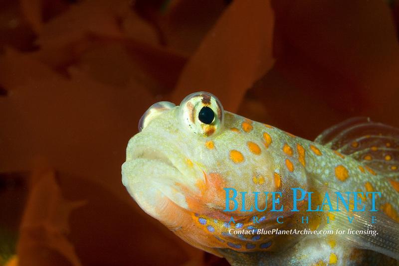 Yellowspotted Shrimp Goby (Amblyeleostris guttata) (c)(do)