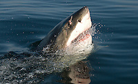 Great White shark lunges at surface, False Bay, South Africa.