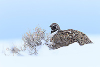 Greater Sage-Grouse (Centrocercus urophasianus) hunkered down in winter among the tops of sage bushes burried in snow. Sage comprises almost 100% of the sage-grouse winter diet. Sublette County, Wyoming. March.