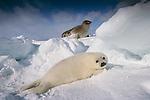 Harp seal, Canada