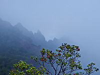 A red 'ohi'a flower tree with misty jagged mountain at Kalalau Valley on Kaua'i.