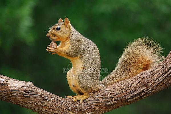 Eastern Fox Squirrel (Sciurus niger), male eating pecan nut, Fennessey Ranch, Refugio, Coastal Bend, Texas Coast, USA