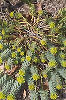 Walzen-Wolfsmilch, Walzenwolfsmilch, Myrtenblätterige Wolfsmilch, Euphorbia myrsinites, myrtle spurge, blue spurge, broad-leaved glaucous-spurge, L'euphorbe de Corse, myrte surge
