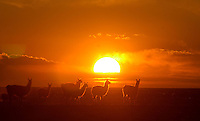 """Una manada de llamas durante el atardecer en el desierto que rodea la ciudad de Uyuni en la región sur de Bolivia.+turismo,  paisaje *A herd of llamas gaze  at sunset  through the desert sourrounding  Uyuni city , in Southern Bolivia +tourism, landscape *Un troupeau de lamas au coucher du soleil dans le désert qui entoure la ville d'Uyuni, dans la région sud de la Bolivie. +paysage, animaux, sauvage, tourisme, .. For  the first time in its history,  in January 2014 the Dakar Rally will  be cross part of Bolivia, one of the wildest South American nations.  """"The organizers of the Dakar, attracted by the discovery of new spaces, were conquered by Bolivian landscapes that can be classified among the most striking of the continent,"""" says the official site of the international race.<br /> The most impressive is the section that runs through the Salar of Uyuni,  considered the world's largest salt flat and a place of surreal beauty, almost otherworldly.<br /> The competition is scheduled for  in January 2014. Our photographer and  friend Patricio Crooker  show us  the unique beauty of the places the rally will hit."""