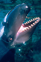 False killer whale being fed, Pseudorca crassidens, Oahu, Hawaii, Pacific Ocean c