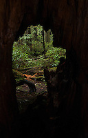 Window onto Old Growth Forest near Big Cedar Tree, Olympic National Park, Washington, US