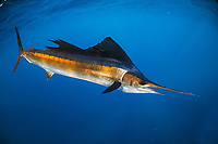 Atlantic sailfish, Istiophorus albicans, Florida, USA, Atlantic Ocean