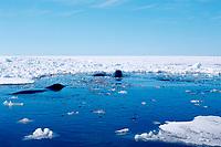 bowhead whales, Balaena mysticetus, among ice floes, Baffin Island, Nunavut, Canada, Canadian Arctic Ocean