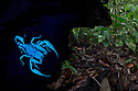 Sequence 2 of 2 - Giant Black Forest Scorpion (Heterometrus sp.), fluorescing under ultraviolet light. Danum Valley, Sabah, Borneo. June.