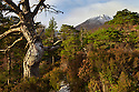 Scots Pines with the peak of Sgurr na Lapaich beyond, Glen Affric, Caledonian Forest Reserve, Scotland, November.