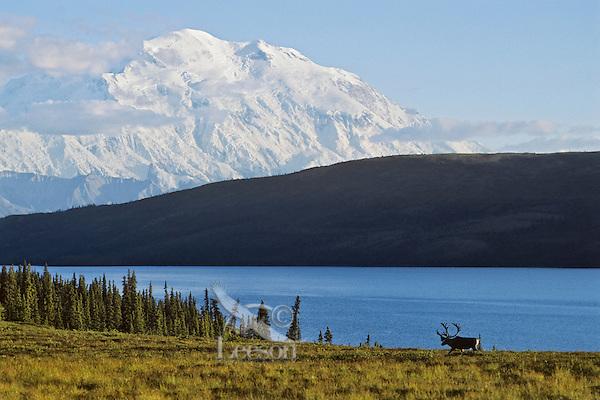 Caribou bull, Wonder Lake and Mt. McKinley, Denali N.P., Alaska