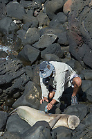 NOAA researcher Mark Sullivan uses hair color bleach to mark an identifying number on the fur of a sleeping Hawaiian monk seal, Neomonachus schauinslandi, Critically Endangered endemic species; west end of Molokai, Hawaii, photo taken under NOAA permit 10137-6, Ho ike a Maka Project