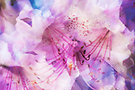 Multiple Exposure of Pink Rhododendron.  Soft, macro image.