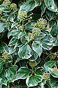 """Hedera algeriensis 'Gloire de Marengo', mid October. """"The bush form of the variegated Canary Island ivy forms a multi-stemmed, rounded mass covered with luminous evergreen leaves. These are glossy, puckered with a cream edging merging into bands of grey, mottled with green and grey-green from the centre. The adult leaves are smaller than the juvenile climbing forms and erratically ovate in shape. In autumn the bush becomes extraterrestrial when covered in queer globular greyish umbrels that open into insect-attracting white flowers."""" [Fergus Garrett, Great Dixter, Nurseryman's Favourites, Gardens Illustrated magazine, October 2013]"""