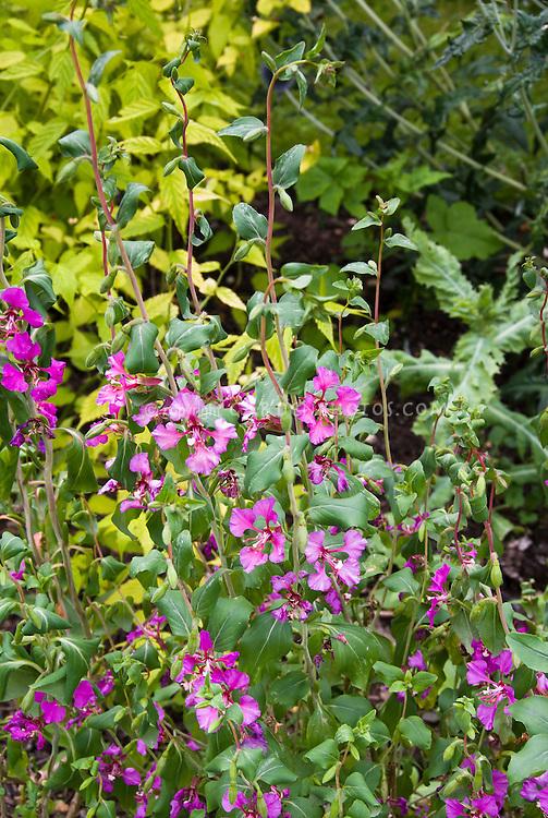 Clarkia amoena (Farewell-to-Spring) aka Godetia amoena, Native American wildflower discovered by Lewis & Clark