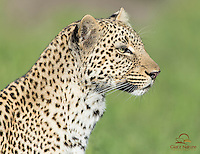 Closeup of young female Leopard (Panthera pardus), Masai Mara