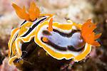 Anilao, Philippines; a pair of Chromodoris annae nudibranchs on the coral reef
